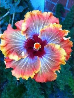 This would be a beautiful tattoo but I don't think anyone around here could do it justice:(: Color, Hibiscus Flower, Beautiful Flowers, Furnace Hibiscus, Garden, Pretty Flower