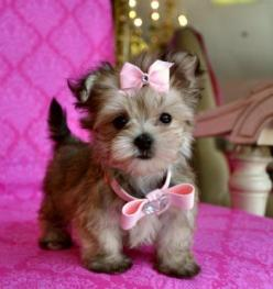 Tiny Teacup Yorkie/Maltese Mix. Like I would ever be allowed to have this adorable creature..: Puppies, Animals, Dogs, Teacup Yorkie, Pet, Puppys, Baby Girl