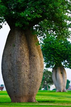 Toborochi trees at the Aspire Park, Doha, Qatar: Nature, Amazing Trees, Beautiful, Place, Toborochi Trees, Photo, Garden, Flower