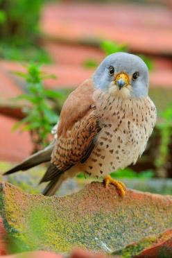 ~♥~ too adorable not to pin ~♥~ This little Kestrel makes me smile. :)Agree, looking right at you! adorable picture.: Animals, Nature, Birdie, González Revelle, Beautiful Birds, Beautifulbirds