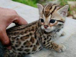 totally not a cat fan...but i would make an exception for this little guy: Cats, Animals, So Cute, Bengal Cat, Pet, Kittens, Baby, Kitty