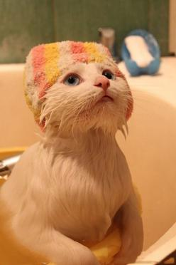 towel hat - I cant even stand how freaking adorable this is!: Kitty Cats, Animals, Pets, Funny, Bathtime, Shower, Kittens, Bath Time