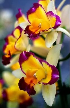 Tri-colored Orchids www.tablescapesbydesign.com https://www.facebook.com/pages/Tablescapes-By-Design/129811416695: Orchid, Flowers Plants, Tri Colored Orchids, Beautiful Flowers, Flowers Orchids