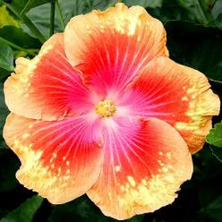 Tropical Hibiscus - 'Summer Fun' 7 to 9 inch multicolored blooms: Giant Hibiscus, Tropical Hibiscus, Hibiscus Flower Tattoo, Flowers Plants Fungi, Bright Flower, Summer Fun, Hibiscus Summer