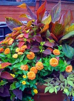 Tropicanna canna, coleus Alabama Sunset, orange zinnia, bronze sweet potato vine, creeping zinnia (sanvitalia): Garden Container, Container Gardens, Color, Container Planting, Urban Landscape, Photo, Container Gardening