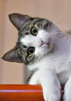 tu m'a dit quoi rien je ne t'ai pas parler !!!! ~: Cats, Animals, Pets, Curious Cat, Funny, Kitty Kitty, Kittens, Feline, Photo
