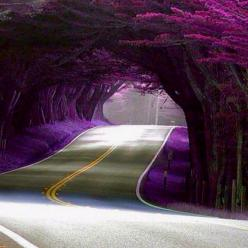 Tunnel of Trees, Highway 1, California: Purple Trees, California Purple Blossoms, Purple Road, California Beautiful, Purple Tunnel, Highway 1, California Amazing, California Tunnel