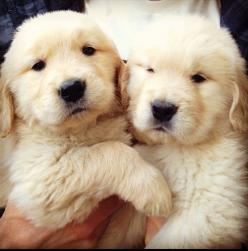 Two Labrador-retriever fluffy and cute puppies ... (click on picture to see more stuff): Dogs, Golden Retrievers, Pet, Puppys, Box, Baby, Things, Animal, Furry Friends