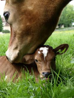 Vache et veau ~ Cow with calf, such sweetness: Farm Animals, Cows And Calves, Babies, Mothers, Sweet, Farm Life, Country Life, Baby Cows