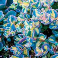 Variegated Creeping Blue Sedum: Pink Flowers, Succulent, Variegated Creeping, Michigan Bulb, Garden Ideas, Early Fall, Flowers Plants, Blue Sedum, Creeping Blue