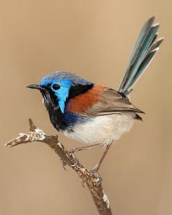 Variegated Fairy Wren (Malurus lamberti) lives in diverse habitats across most of Australia: Fairy Wrens, Birds Wren, Fairies, Fairywren Malurus, Beautiful Birds, Photo, Fairywren Lives, Variegated Fairywren