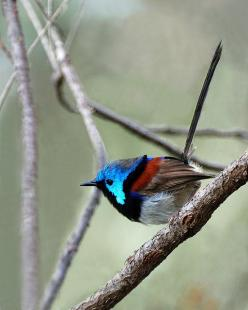 Variegated Fairy Wren: Photos, Birdie, Gorgeous Birds, Feathers