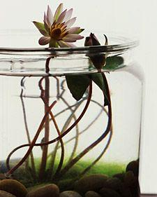 Water Gardens: Water Plants, Idea, Freshwater Garden, Water Gardens, Green, Terrarium, Watergardens, Indoor Water Garden