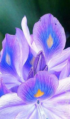 Water Hyacinth: Flower Lotus, Water Hyacinth, Koi Ponds, Pedestrian Blooms, Photo
