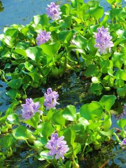 Water Hyacinths- terrible for the environment,but i loved them as a child: Louisiana Legacy, Wildflowers Native Plants, North American, Garden Ideas, Painting Inspiration, Butterfly Garden, American Wild