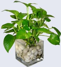 Water Money plant-Indoor plants, home plants, water plants: Indoor Water Plants, Money Plants, Plant Indoor Plants, Money Plant Ideas, Water Money, Money Plant Indoor, Water Garden, Landscaping Plants Water, Wedding Souvenir
