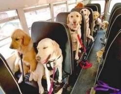 We're going to the park! We're going to the park! | 61 Times Golden Retrievers Were So Adorable You Wanted To Cry: Doggie, Buses, Animals, Dogs, Schools, Pet
