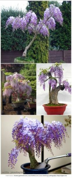 We use to have one of these beautiful wisteria plants. Gorgeous bonsais here: Wisteria Plants, Gorgeous Bonsai, Wisteria Bonsai, Grow Wisteria, Pot Garden