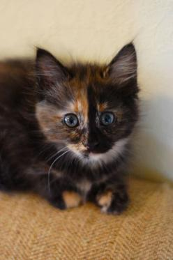 We used to have a kitty that looked a lot like this ~ she didn't meow ~ she only squeeked ~ thus the name ~ 'squeeky' ~ she was a nice kitty.: Beautiful Cat, Cute Cats, Adorable Kittens, Kitty Kitty, Calico Cats, Cat Lady, Animal