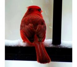 What could be more beautiful...I always thank God each time I see something so amazing cross my path.: Redbird, Winter, Beautiful Birds, Favorite Bird, Red Birds, Animal, Cardinals