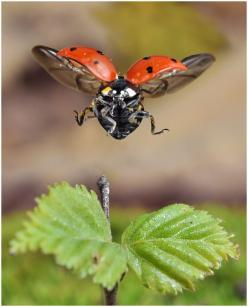 When a ladybird lands, they slow down their flight, and glide down to a gentle landing on the leaf.: Ladybug Landing, Animals, Butterflies, Nature, Ladybugs, Ladybird, Lady Bugs, Photo