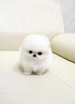 White cute fluffy puppy... would be practically invisible if not for those cute eyes of coal and that black button nose!: Cute Animal, Animals, Teacup Pomeranian, Dogs, So Cute, Pets, Puppys, Box