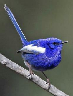 White-winged fairy wren,(several other species of fairy-wren are found in Australia:e.g. White-winged Fairy-wren): Fairies, White Winged Fairywren, Birdie, Beautiful Birds, Birds Fairy Wrens, Animal