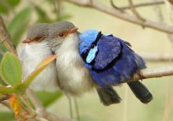 Who said birds wont lie on their side when they sleep?  Malurus splendens, Splendid Fairy-Wren, Western Australia: Photos, Fairy Wrens, Animals, Sweet, Nature, Beautiful Birds, Fairywren