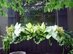 Window boxes are not just for sunny locations.  The caladiums, dieffenbachia, and yellow coleus in this box light up a very shady spot.  The trailing licorice is surprisingly tolerant of shade.�: Container Gardens, Garden Window, Windows, Container Garden