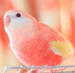 would have to name this cute little one after... myself of course!  Coral parakeet: Coral Parakeet, Pink Animals, Pink Parakeets, Coral Peach, Pretty Birds, Animals Birds, Profile Picture, Animals White, Peach Coral
