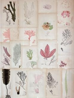 Would love this in my office :: coral botanical prints | #vintage prints #collections: Botanical Seaweed, Inspiration, Vintage Botanical Prints, Art, Seaweed Prints, Coral Print, Seaweed Botanical