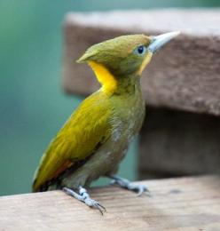 yellow-naped woodpecker  (photo by the hems family): Yellow Naped Woodpecker, Birds Birds, Beautiful Birds, Bird Watching, Birds Woodpeckers