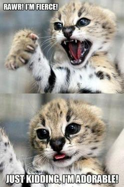 You Almost Fooled Me!    scary , fierce , adorable , just kidding , captions , cubs , cheetahs , big cats , multipanel, animal, leopard, kitten, rawr: Funny Animals, Cats, Stuff, So Cute, Adorable, Humor, Funnies, Things