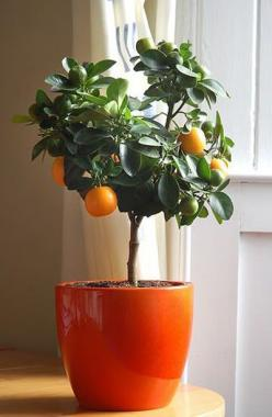 You can grow a clementine tree indoors. | 28 Surprising Things That Really Work, According To Pinterest: Green Thumb, Greenthumb, Fruit Trees, Orange Trees, Indoor Garden, Indoor Plants