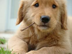 You know what I don't get? How the hell do animal abusers do it? Look at how cute and innocent this pup looks. How could big meanies even think about harming creatures like these? NO!: Face, Animals, Dogs, Sweet, Golden Retrievers, Pet, Puppy, Baby