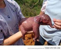 1 minute old elephant. That's the stinking cutest thing ever!!!  I want one!!: Newborn Baby, Minute, Babyelephants, Babies, Baby Elephants, Things, Newborn Elephant, Baby Animals, Newborns