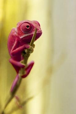 (100+) Favorietenop | Tumblr: Reptiles, Animals, Chameleons, Nature, Color, Pet, Pink