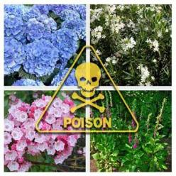 12 Deadliest Garden Plants:  Beware of growing these plants around pets and young children.: Deadly Garden, Deadliest Garden, Young Children, Pet, 12 Deadliest, Gardening Ideas, Deadliest Plants, Garden Plants