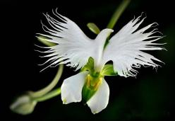 21 Rare Flowers That Simply DO NOT Look Like Flowers At All. My Jaw Nearly Hit The Floor!: Nature, Habenaria Radiata, Dove Orchid, Orchids, Beautiful, Flowers, White Egret, Flower