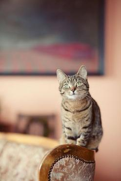 """* * """"But me not sittin' on yer couch; I's be on de wood part. Actually, me came wif de couch."""": Funny Kitty, Kitty Cat, Tabby Cat, Cute Cats, Dreamer, C Baby Cat, Animals Cat, Baby Cats, Photo"""
