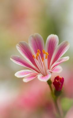 """We are born as flowers in the garden of the Universe."" ~ Thich Nhat Hanh ♥ Beautiful Photo of a Lewisia plant: Pink Flowers, Nature, Art, Beautiful Flowers, Flower Power, Pretty Flowers, Bloom, Flowers, Garden"