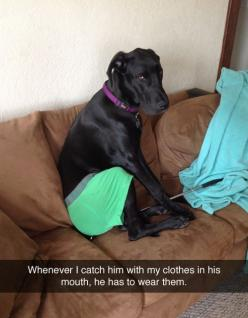 """""""Whenever I catch him with my clothes in his mouth, he has to wear them."""": Animals, Dog Shaming, Funny Dogs, Mouth, Funny Stuff, Funnies, Funny Animal, So Funny"""