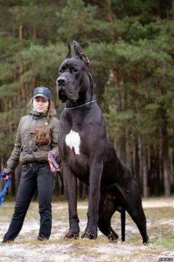 5 Dogs bigger than their owners: Great Danes, Animals, Pets, Puppy, Bigdog, Big Dogs