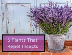 6 Insect Repellent Plants to Grow; repel mosquitoes, gnats, ticks, fleas, and more: Green Thumb, Patio Garden, Repel Insects, Insect Repellent, Gardening Outdoor, Lavender, Repellent Plants