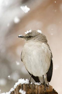 "A bird in winter, ""snowdrops fallin' on my head"": Photos, Northern Mockingbird, Birdie, Beautiful Birds, Mockingbird Photo, Birds Feathered, Birds Feathers, Animal"