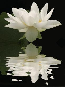 a loutus reminds me of the loutus casino in the 1st percy jackson movie.: White Flower, Lotus Flowers, Beautiful Flowers, Water Lily, Garden, Photo, Flower Reflection, Water Lilies