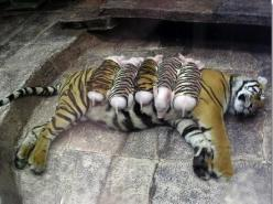 A mother tiger lost her cubs due to premature labour. Shortly after, she became depressed and her health declined. She was later diagnosed with depression. Since tigers are endangered, every effort was made to secure her health. Zoologists wrapped piglets