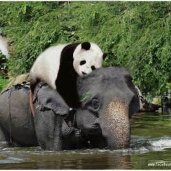 a rare sight: Elephants, Animal Friendship, Animals, Best Friends, Elephant, Odd Couples, Pandas, Panda Bears