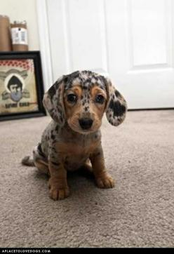 A Real Sweetheart: Animals, Puppies, Dogs, So Cute, Dapple Dachshund, Pet, Doxie, Puppys, Box
