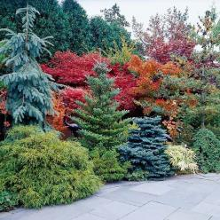 Accentuate Fall Color  -    One sure way to highlight the fall colors in your yard is to pair them with evergreens. Engelmann spruce (Picea engelmannii), Korean fire (Abies koreana 'Horstmann Silberlocke'), and dwarf blue spruce (Picea pungens &#3